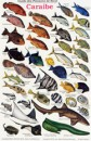 French Reef Fish of the Caribbean ID Card